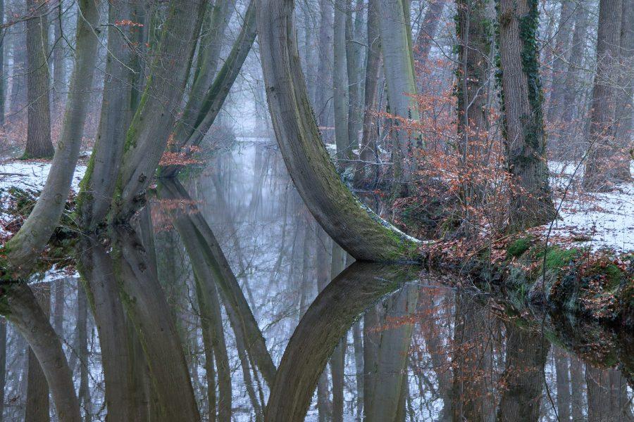 Gebogen bomen op landgoed Twickel te Delden.